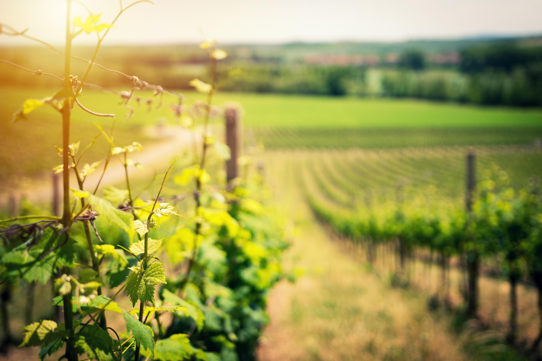 effet de la canicule sur le vin